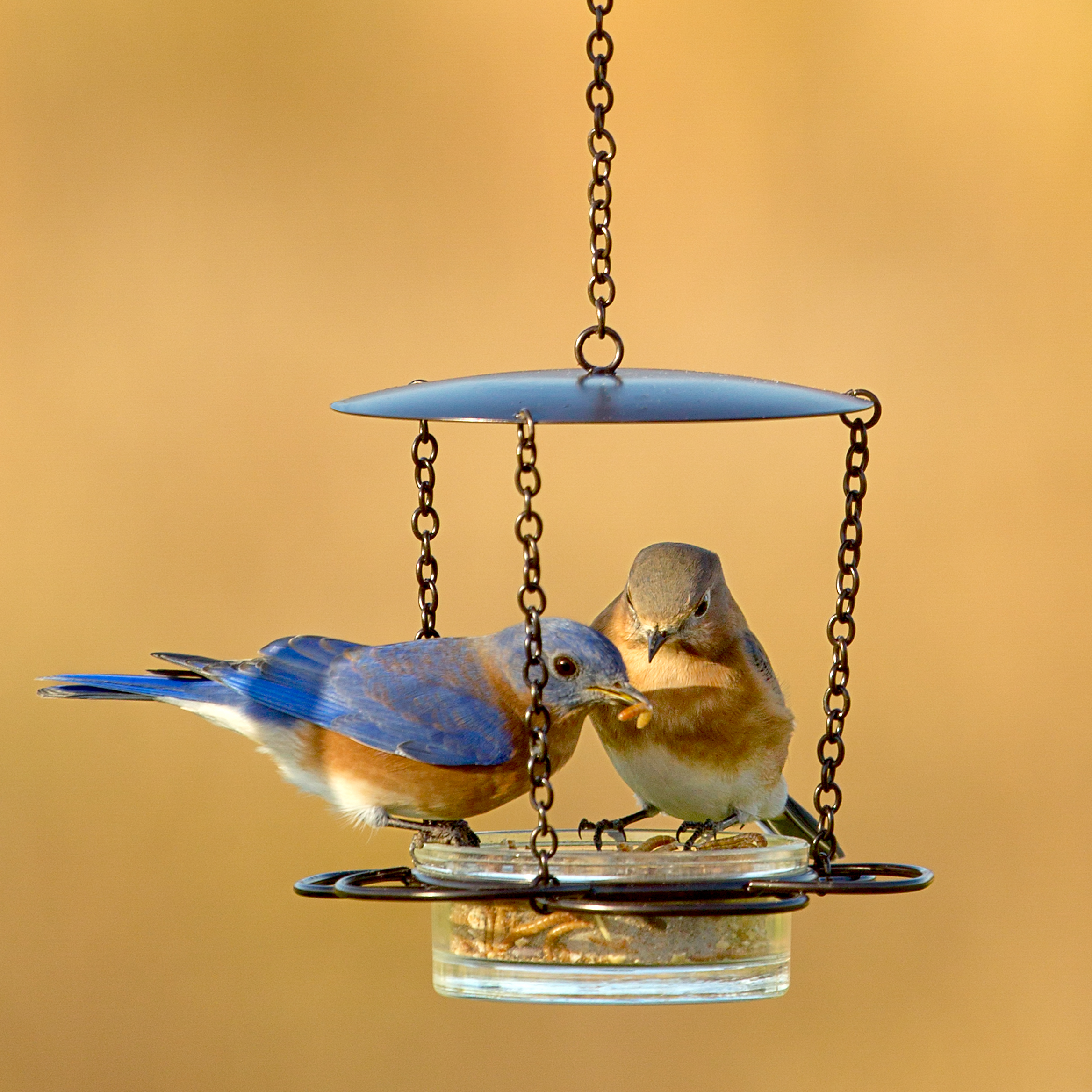 M446-200 Couronneco Hanging Floral Feeder - with mealworms and bluebirds 3MAS9103