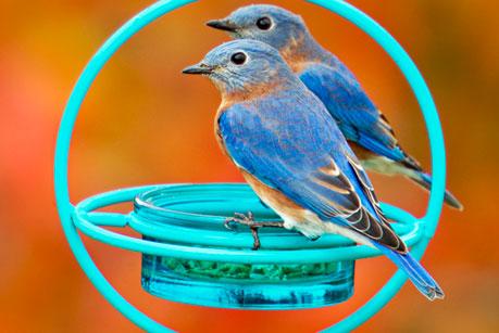 Bluebirds Feeders